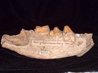 Hyena jaw bone